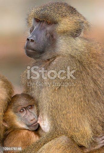 Female Guinea baboon breastfeeding her baby.
