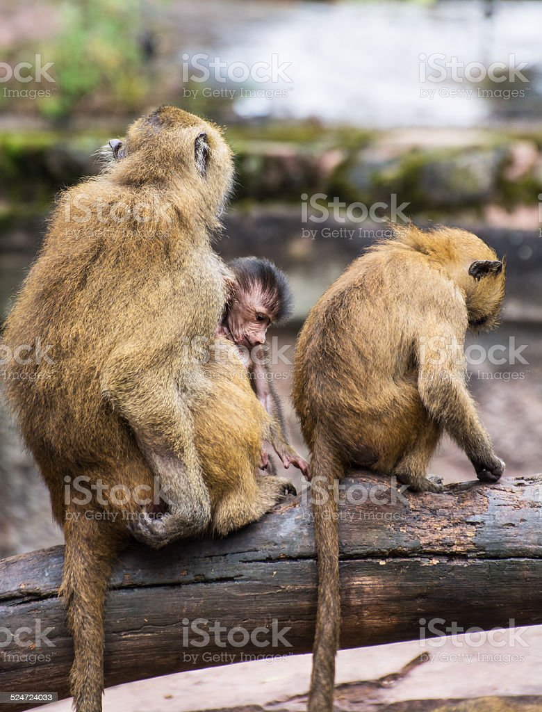 Guinea baboon family on the branch stock photo