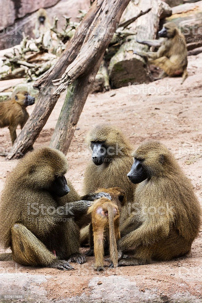 Guinea baboon family stock photo