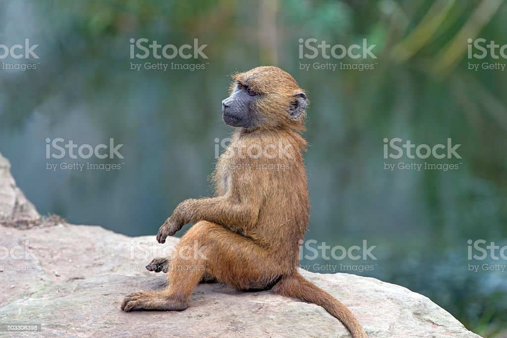 Guinea Baboon (Papio Papio) stock photo