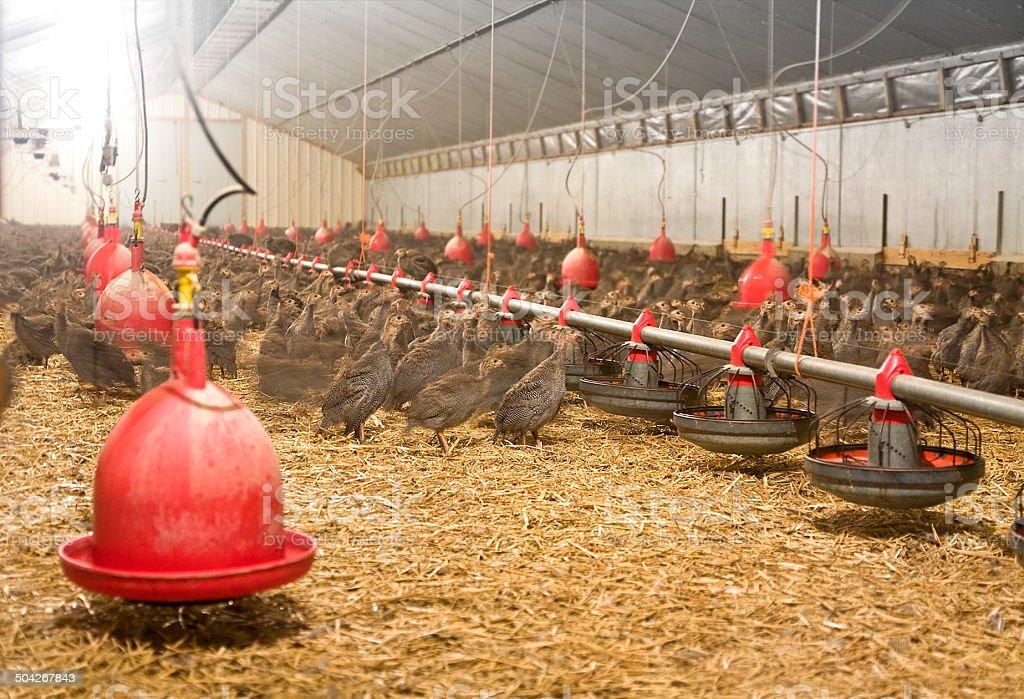 Guinea fowl breeding stock photo