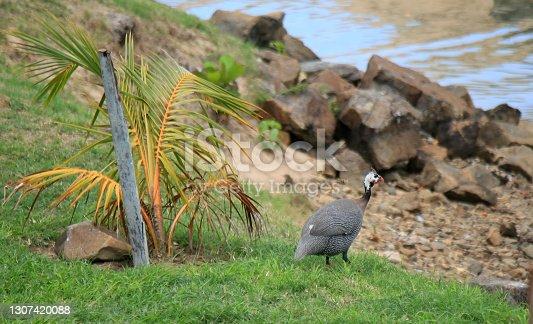istock guinea fowl numida meleagris 1307420088
