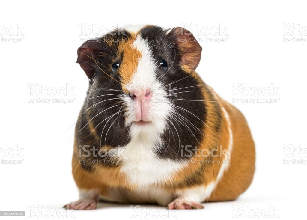 Guinea Pig , 1 year old, lying against white background stock photo