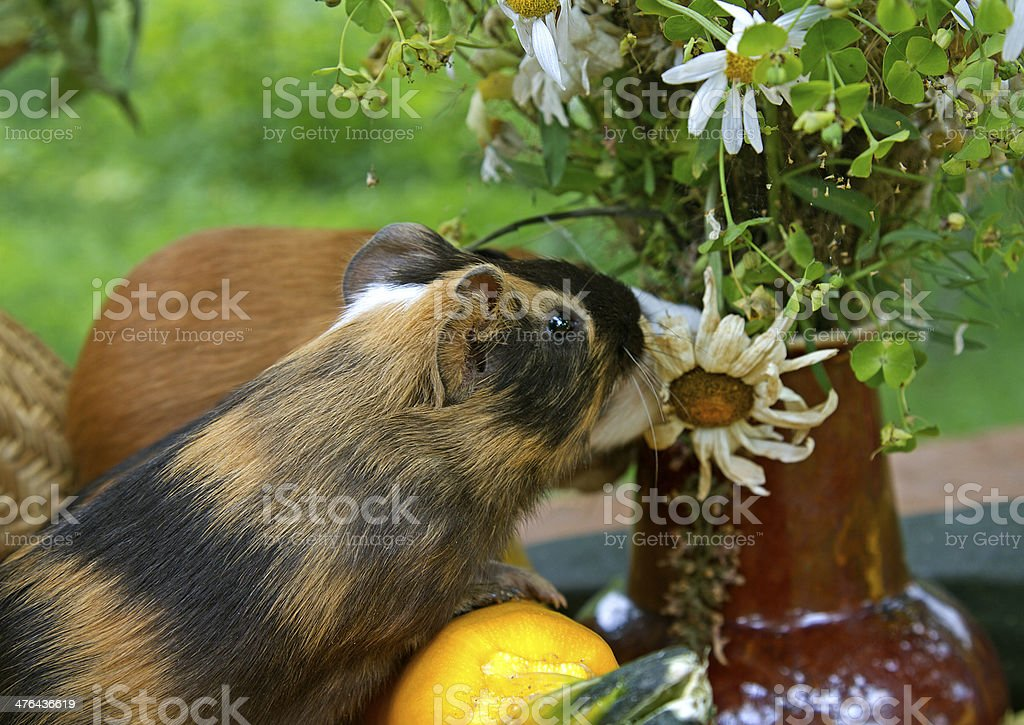 Guinea pig and camomile royalty-free stock photo