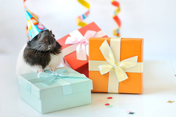 guinea pig and gifts stock photo