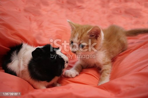 Guinea pig and kitten play animals together Pets