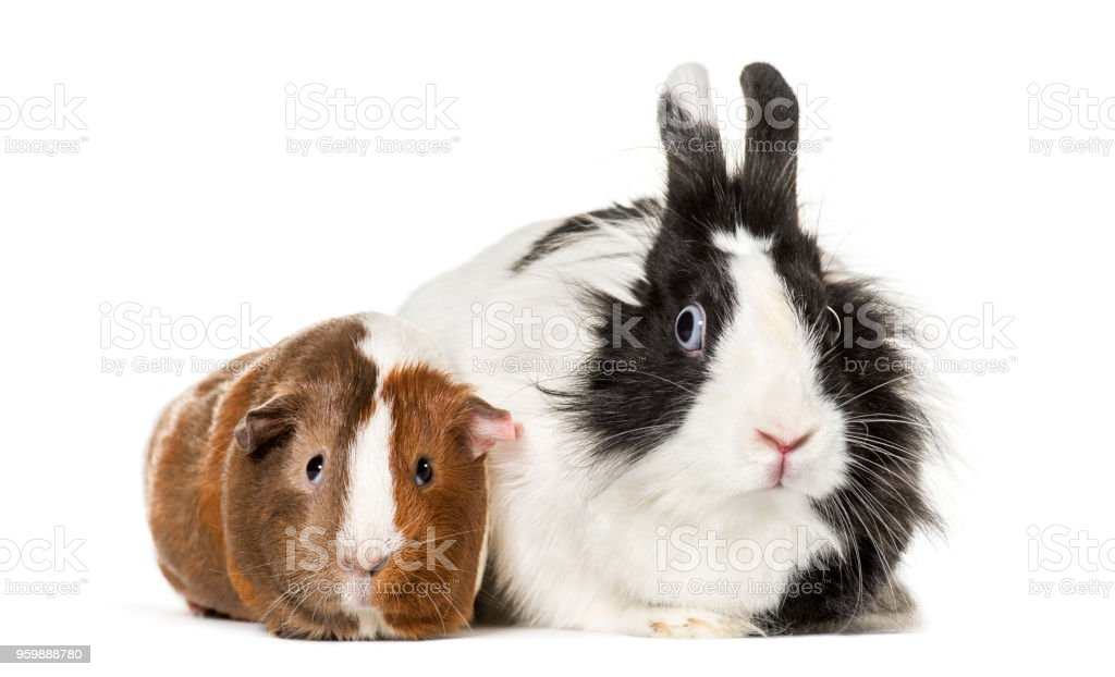 Guinea pig and rabbit sitting against white background stock photo