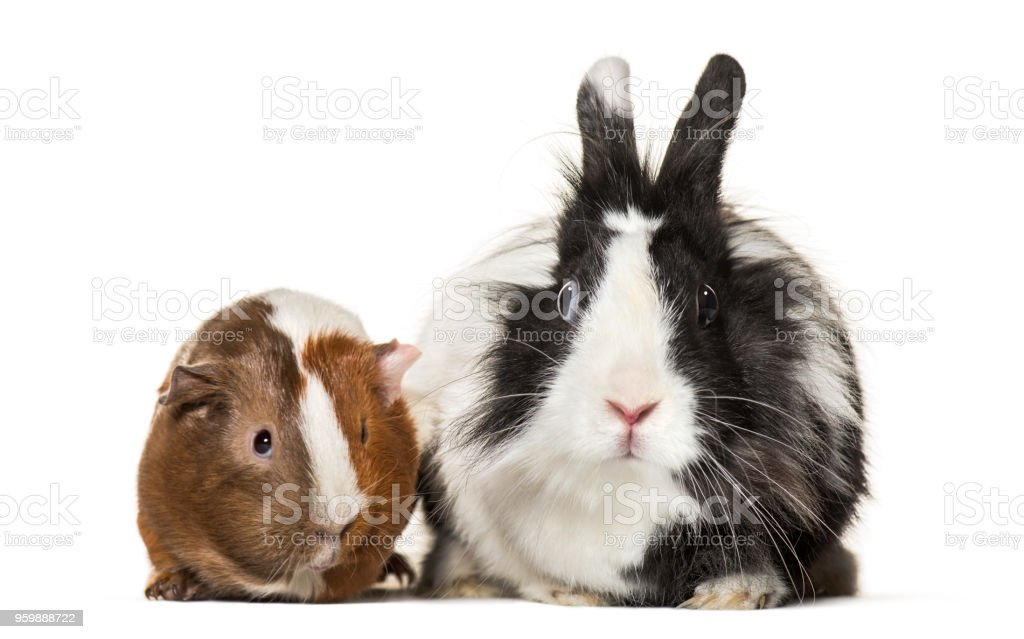 Guinea pig and rabbit together sitting against white background stock photo