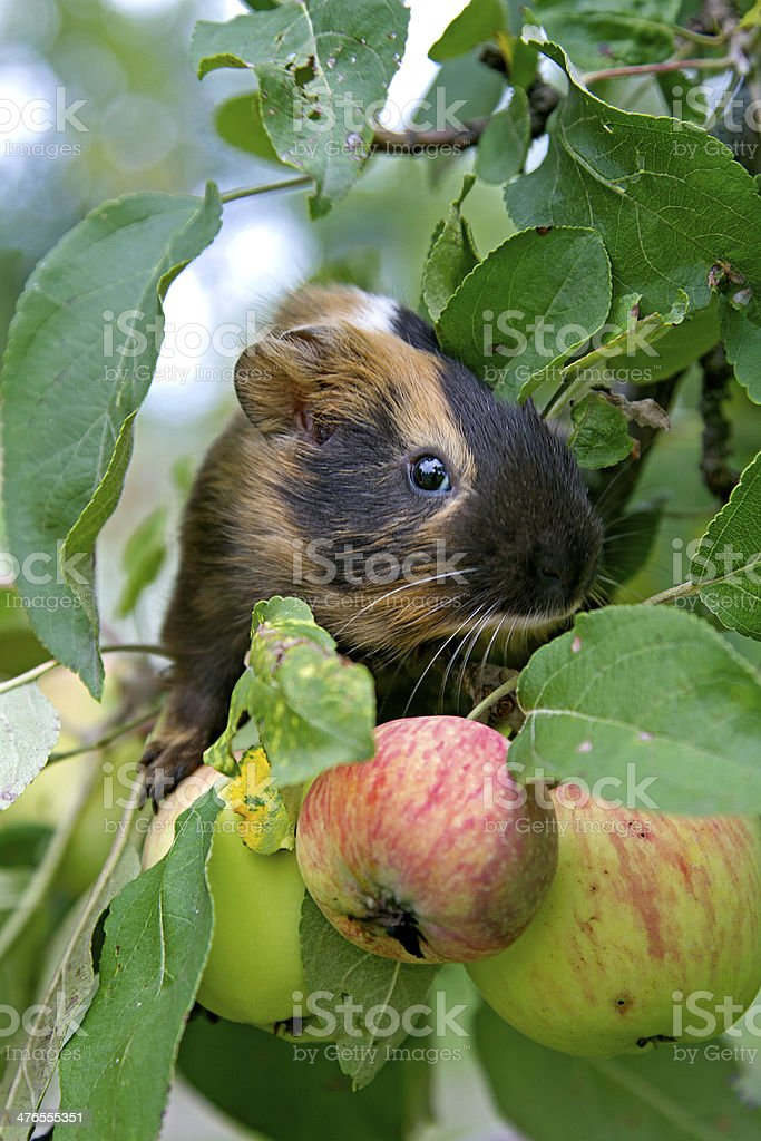 Guinea Pig , apples royalty-free stock photo