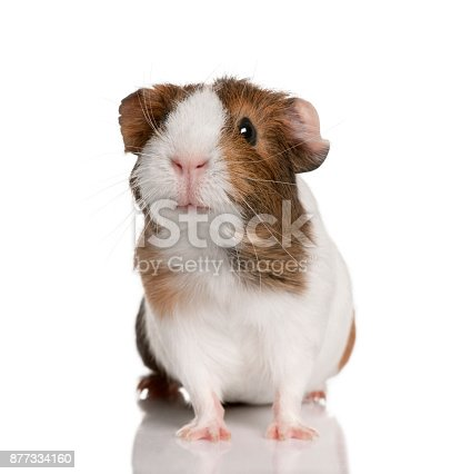 istock Guinea pig, Cavia porcellus, in front of white background 877334160