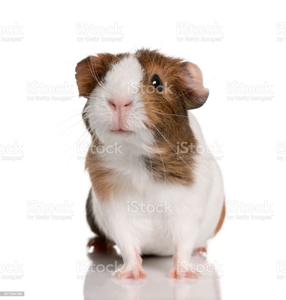 Guinea pig, Cavia porcellus, in front of white background stock photo