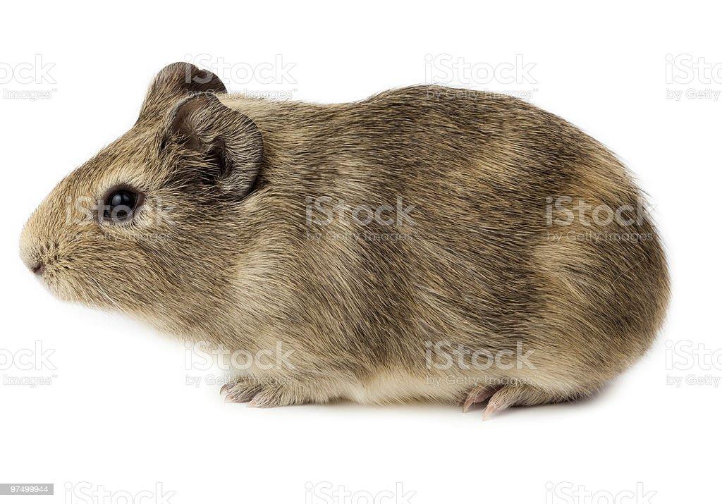 Guinea pig, Cavy, Cavia porcellus royalty-free stock photo