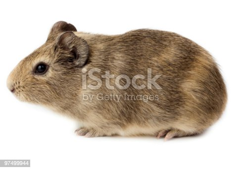 Guinea Pig Cavy Cavia Porcellus Stock Photo & More Pictures of Animal