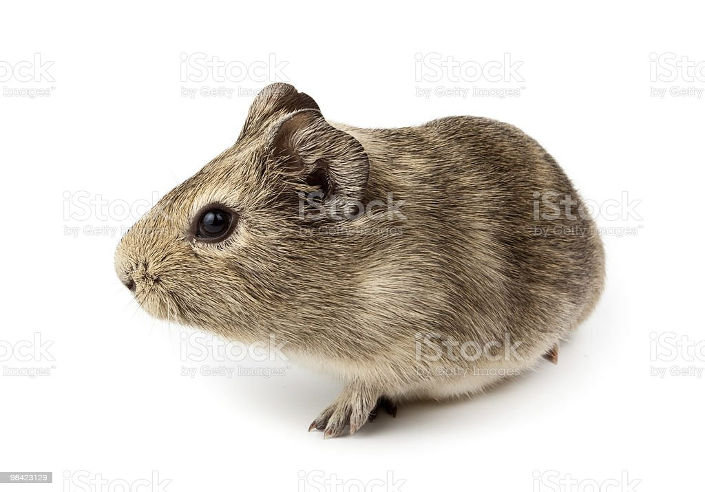 Porcellino d'India, Cavy, Cavia porcellus foto stock royalty-free