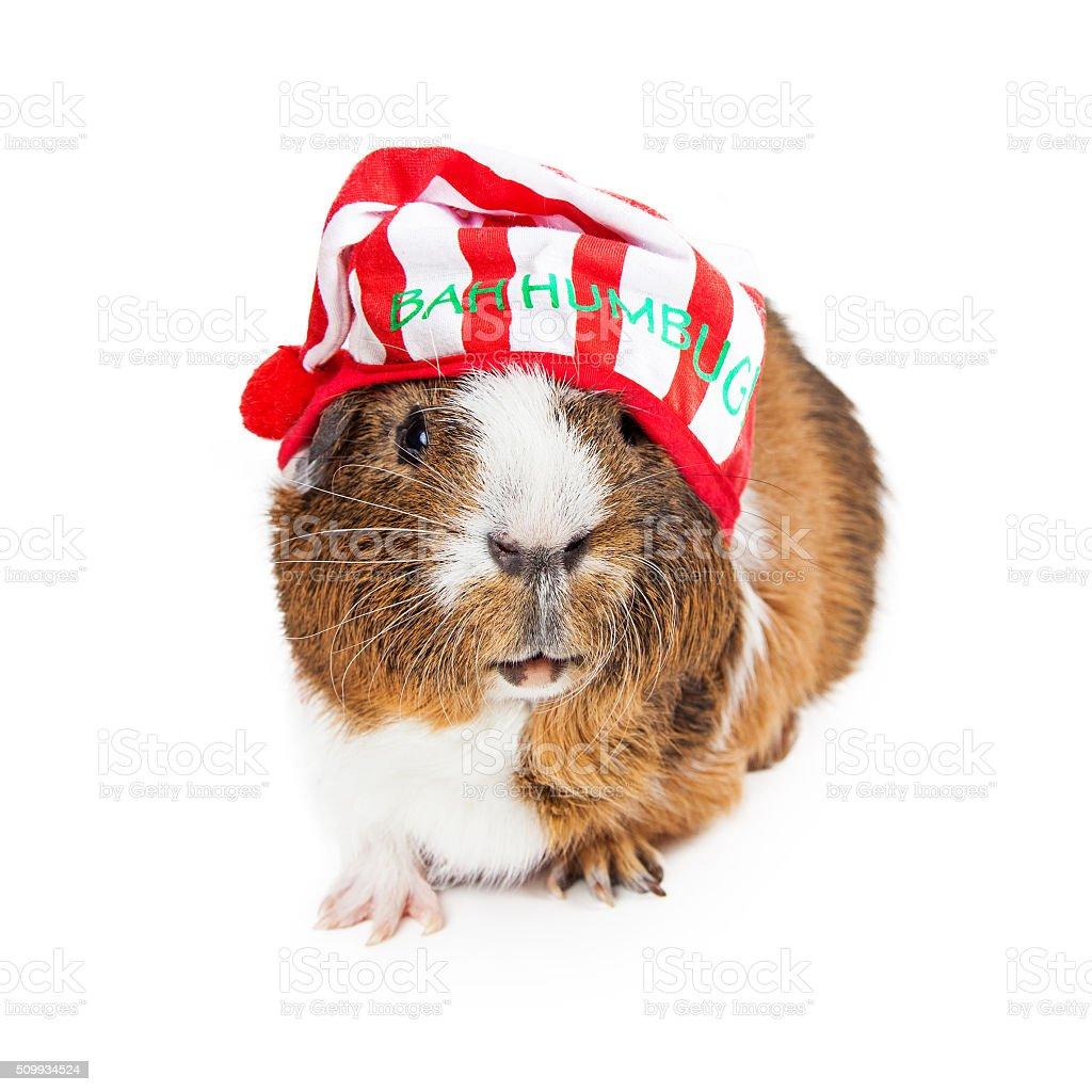 Meerschweinchen Weihnachten Scrooge - Stockfoto | iStock