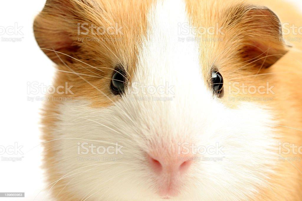 guinea pig closeup over white royalty-free stock photo