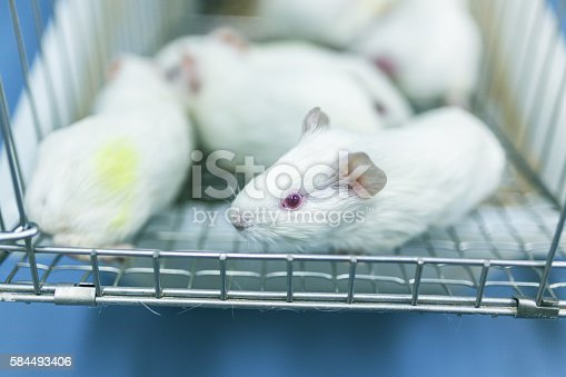 istock Guinea pig cultred in the cage for experiment 584493406