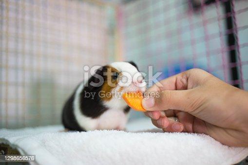 Guinea pig eating a carrot.