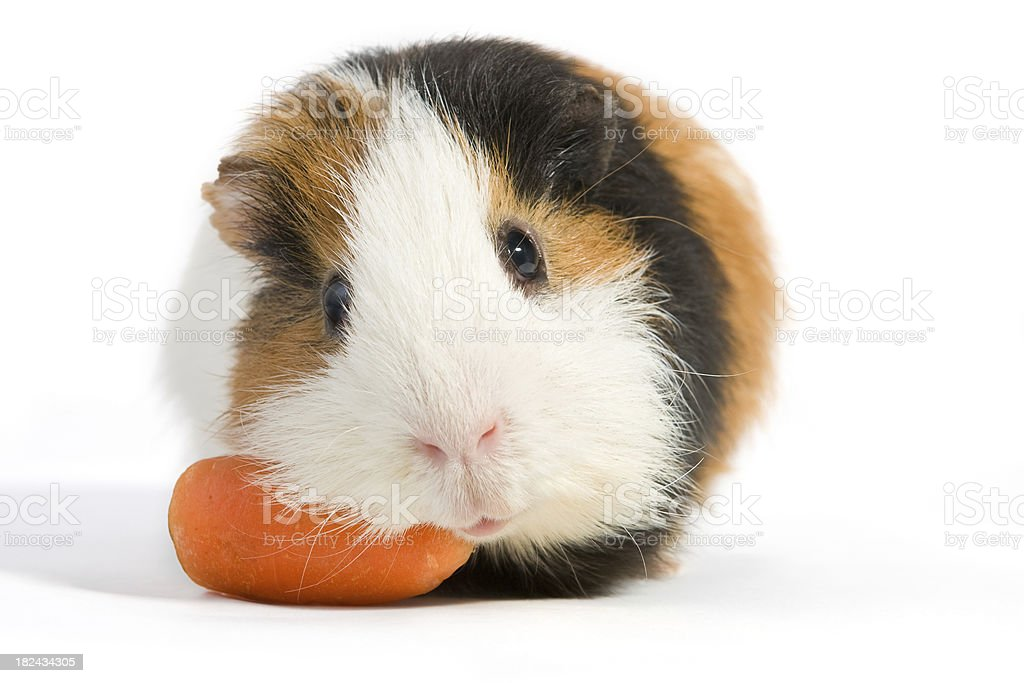 Guinea pig eating carrots. royalty-free stock photo