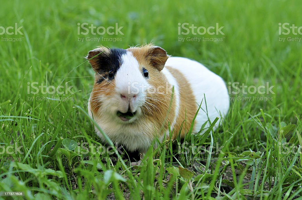 Guinea pig eating grass stock photo