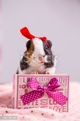 guinea pig in Christmas.