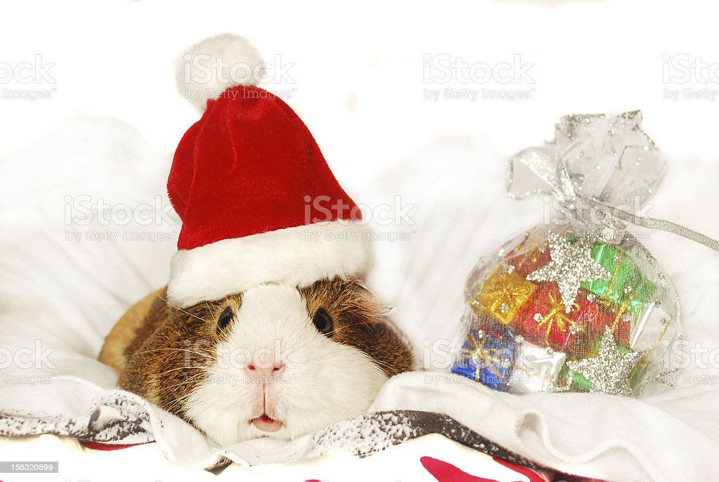 Guinea pig in Santa hat royalty-free stock photo