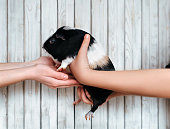 Guinea pig is passed gently from hand to hand. Trade in animals. Sell guinea pigs. Gift for the holiday.