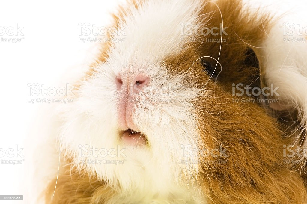guinea pig isolated on the white background royalty-free stock photo