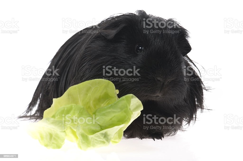 guinea pig isolated on the white background - sheltie royalty-free stock photo