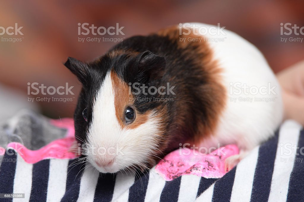 Guinea pig on a shirt. royalty-free stock photo
