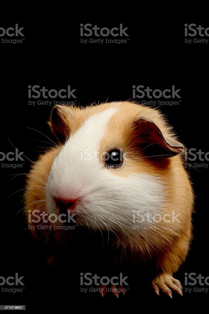 guinea pig on black royalty-free stock photo