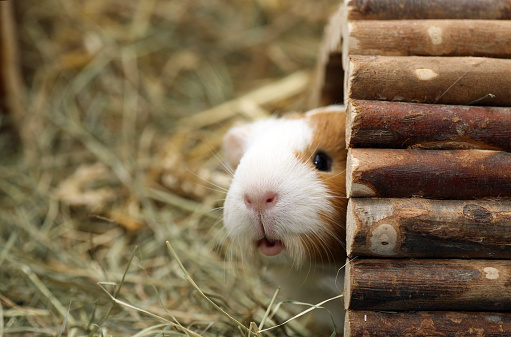 Curious guinea pig looking around the corner carefully