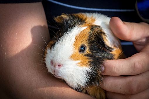 Close-up of Guinea pig in girl's hands. She is embracing and stroking her pet.