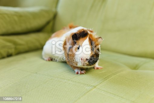 Guinea pig on the green sofa close up photography.