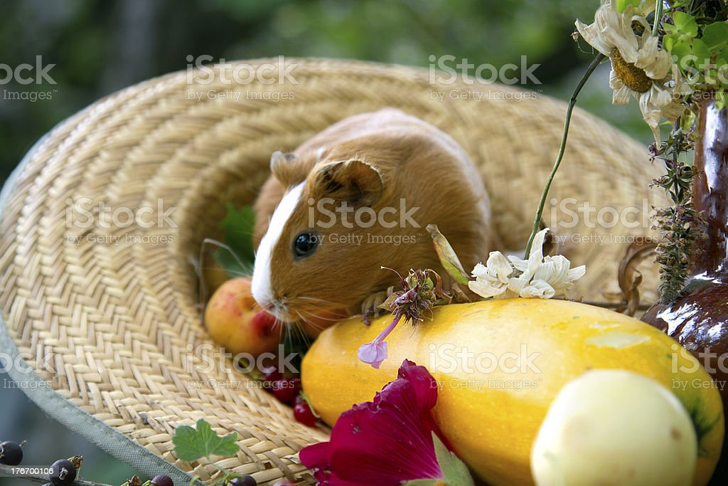 Guinea pig royalty-free stock photo