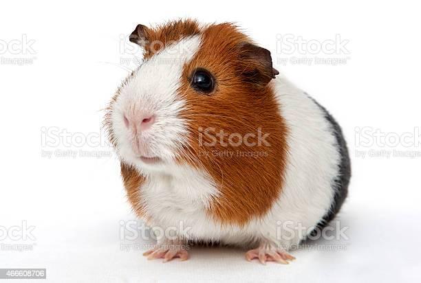 Guinea pig picture id466608706?b=1&k=6&m=466608706&s=612x612&h=psslg5wck3kd5nx4wqpfuer9a308jwafid8vq3oniia=