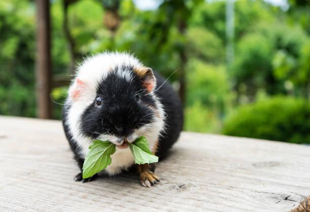 guinea Meerschweinchen – Foto