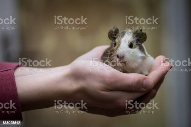 Guinea pig picture id838058842?b=1&k=6&m=838058842&s=612x612&h=brwdwbf5pp qq3gh2jpk1rfhzfxnf lgfrqusinvlke=