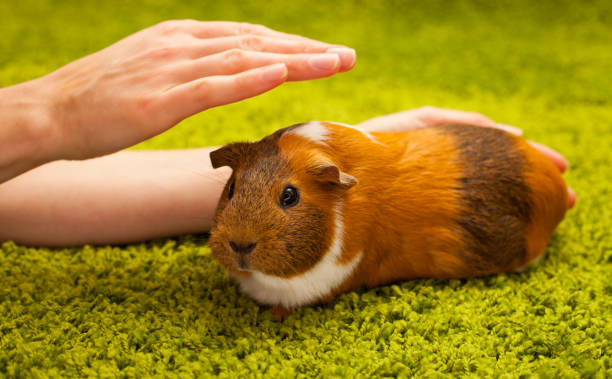 Guinea Pig - foto stock