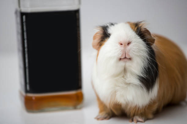 guinea pig sitting on the table next to the bottle. funny pig. alcoholic drink stock photo