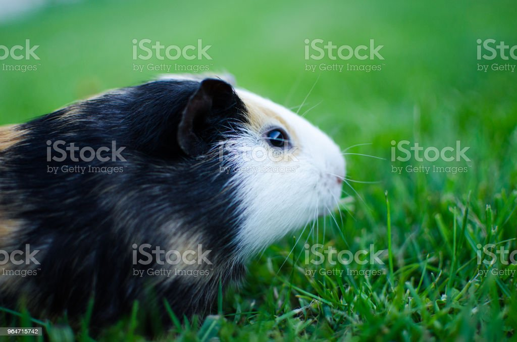 guinea pig walks in the fresh air and eating green grass royalty-free stock photo