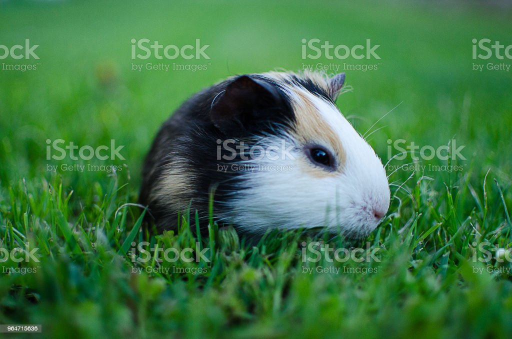 guinea pig walks in the fresh air and eating royalty-free stock photo