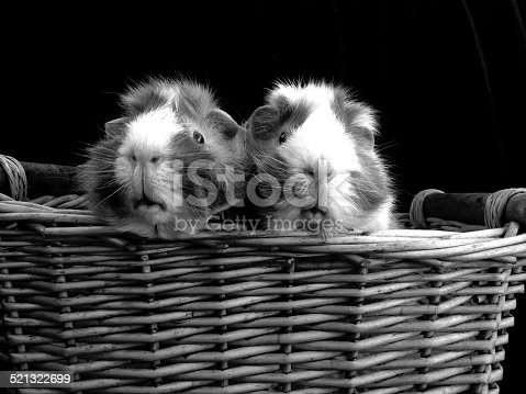 Two guinea pigs in a wicker basket with a black backdrop background.