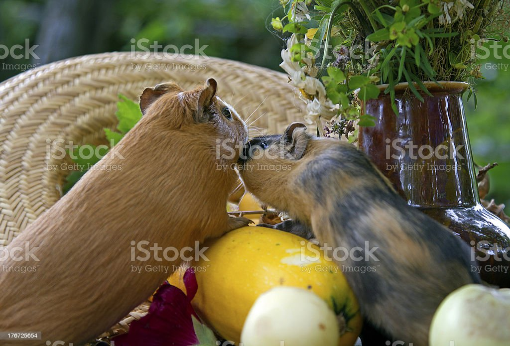 Guinea pigs kissing royalty-free stock photo