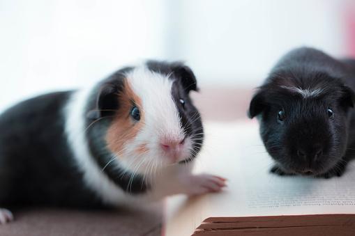 Cute Guinea Pigs.