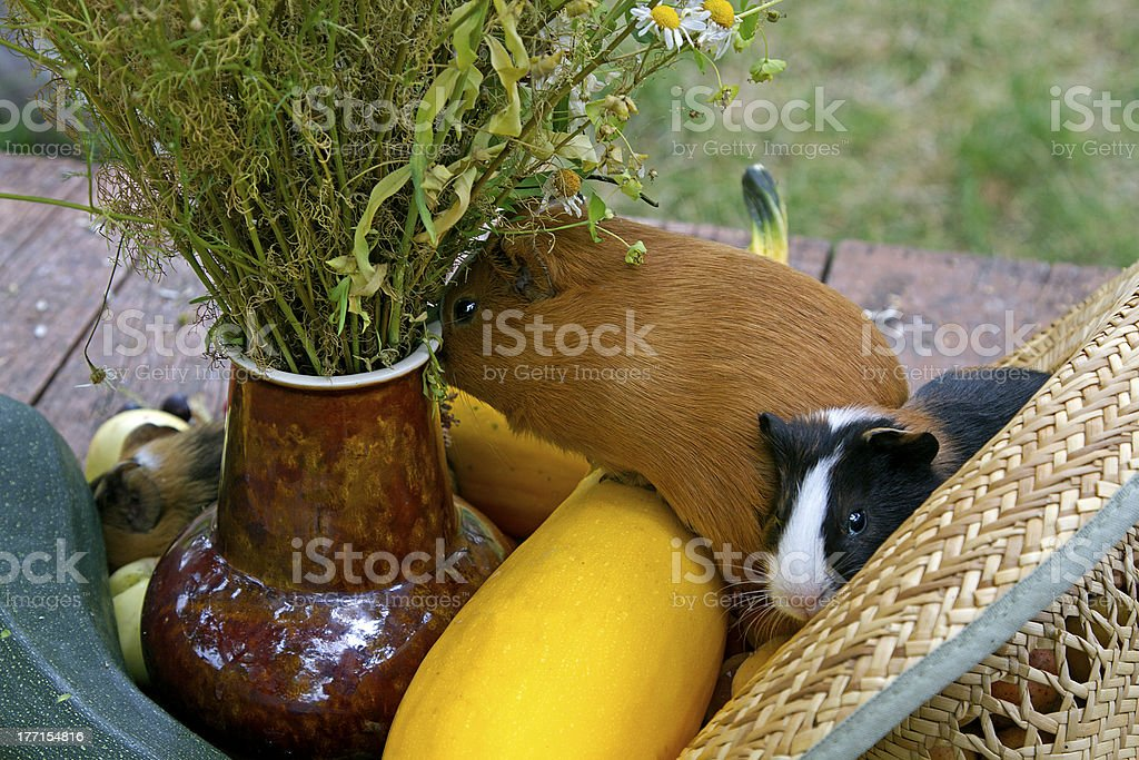 Guinea pigs royalty-free stock photo
