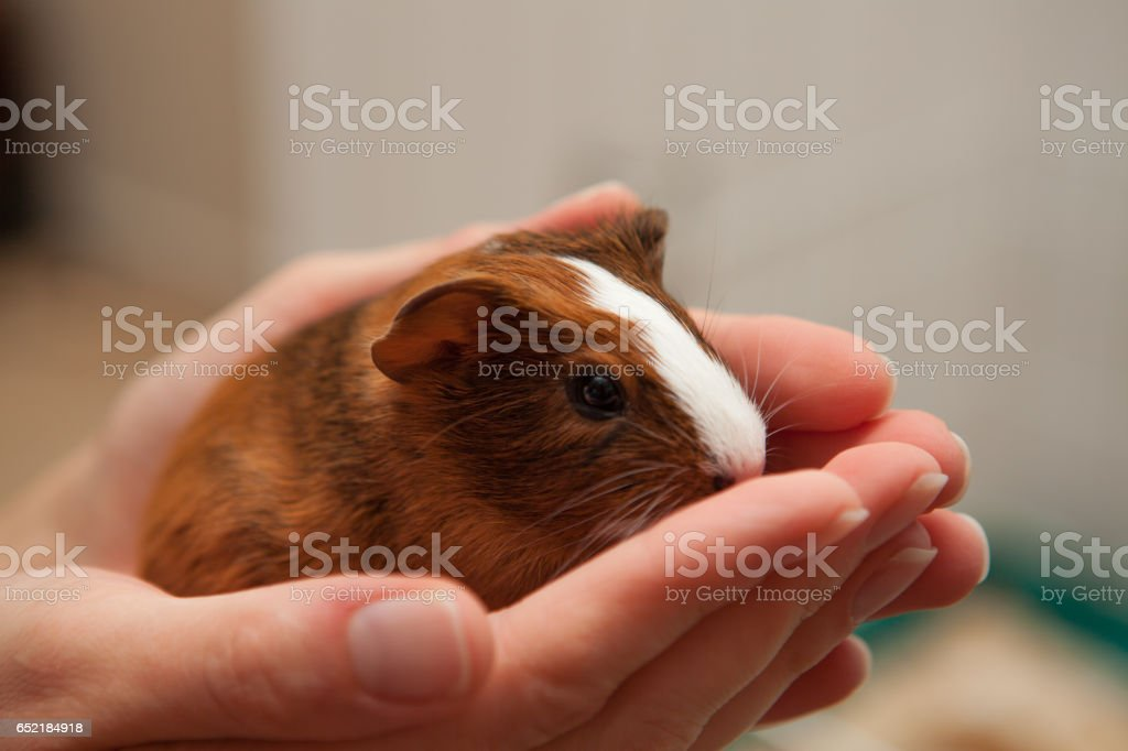 Guinea Pigs - foto stock