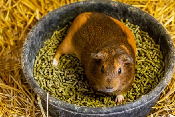 Important things in choosing guinea pigs' food
