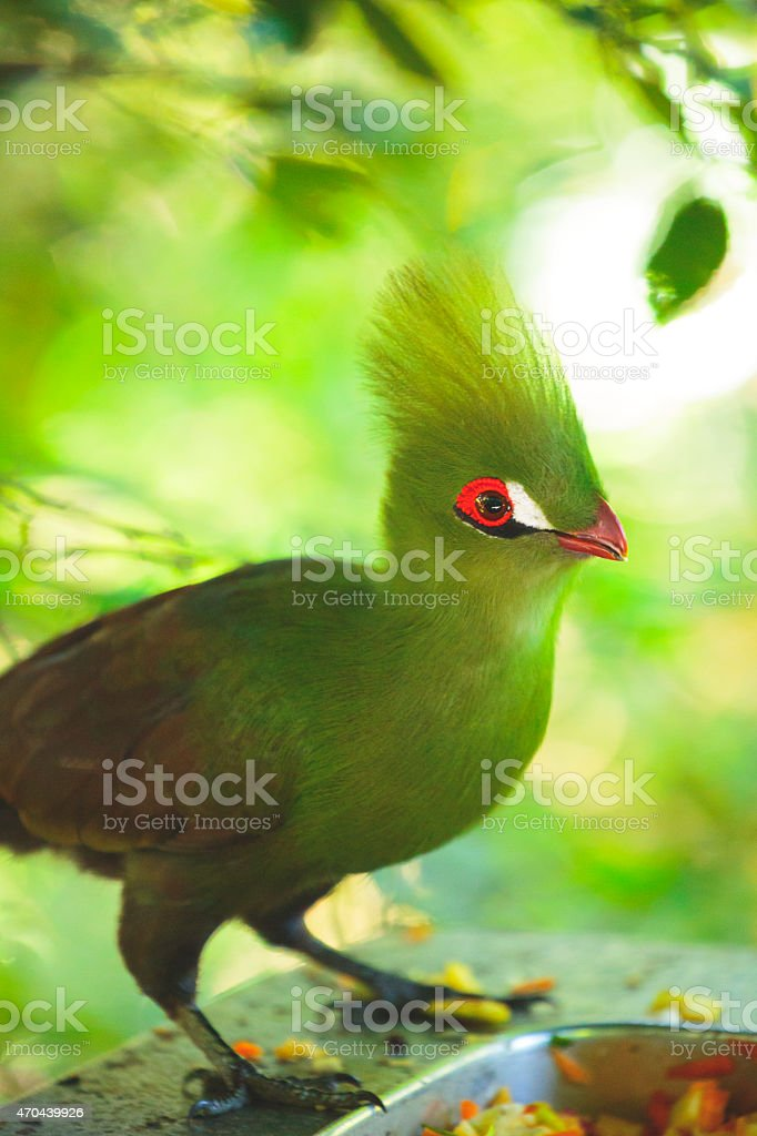 Guinea Turaco - green african bird stock photo
