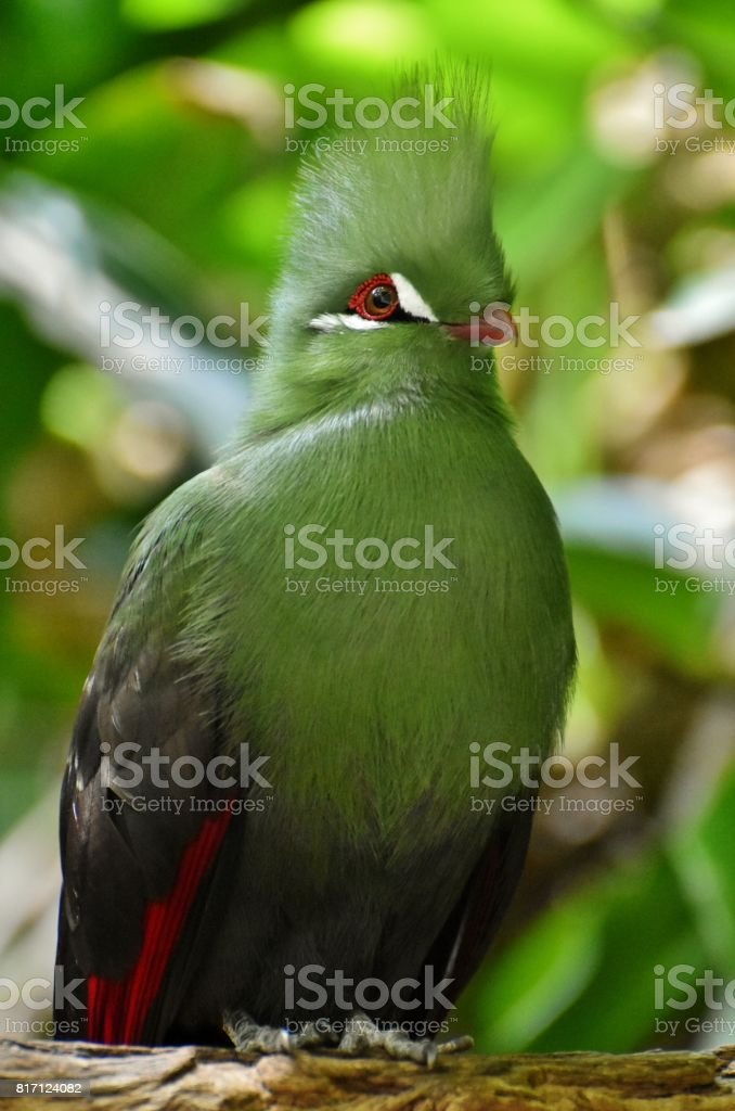 Guinea Turaco (Tauraco persa) stock photo